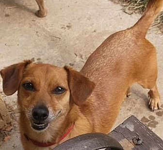 Chihuahua Dog for adoption in Georgetown, Kentucky - ZACHARY