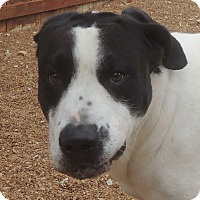 Great Dane Mix Dog for adoption in House Springs, Missouri - Gucci