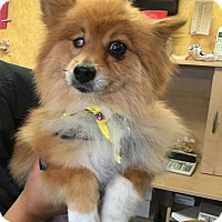 Adopt A Pet :: Stacy Lou - Thousand Oaks, CA