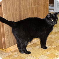 Domestic Shorthair Cat for adoption in Smithers, British Columbia - Sabrina