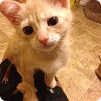 Domestic Shorthair Kitten for adoption in Plano, Texas - Parker