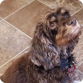 Cocker Spaniel Dog for adoption in Colorado Springs, Colorado - Harley T 16-092