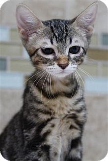 Bengal Kitten for adoption in Rocklin, California - Ridge