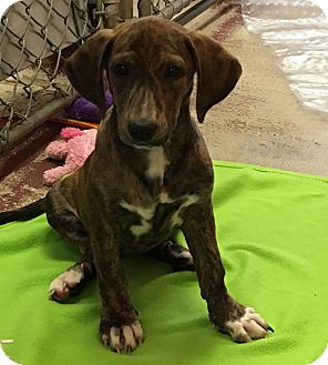 Basset Hound/Dachshund Mix Puppy for adoption in Battle Creek, Michigan - Josey