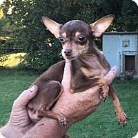 Adopt A Pet :: Daisy - Ardmore, OK