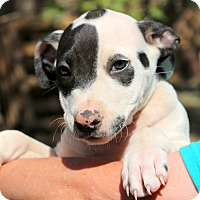 Adopt A Pet :: Sugar~meet me~ - Glastonbury, CT