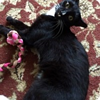 Domestic Shorthair Cat for adoption in Toledo, Ohio - Squirt