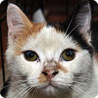 Adopt A Pet :: CLARISSA - New Haven, CT