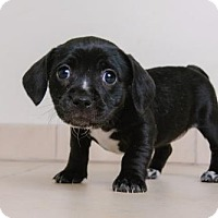 Hound (Unknown Type) Mix Puppy for adoption in Edina, Minnesota - Dallas D161943
