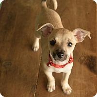 Adopt A Pet :: Selena - San Antonio, TX