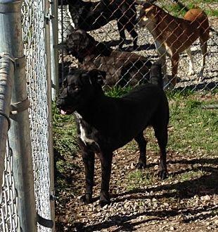 Labrador Retriever/Terrier (Unknown Type, Medium) Mix Dog for adoption in Albemarle, North Carolina - Snickers