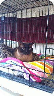 Siamese Cat for adoption in Brea, California - Paige