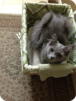 Russian Blue Kitten for adoption in Modesto, California - Dana
