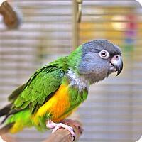 Adopt A Pet :: Jentrie - Villa Park, IL