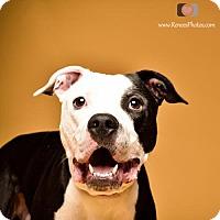 Adopt A Pet :: Farley - Blacklick, OH