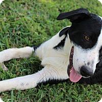 Adopt A Pet :: Bud - Brattleboro, VT