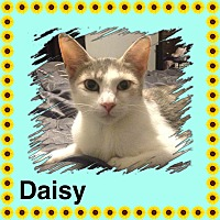 Domestic Shorthair Cat for adoption in Brentwood, New York - Daisy