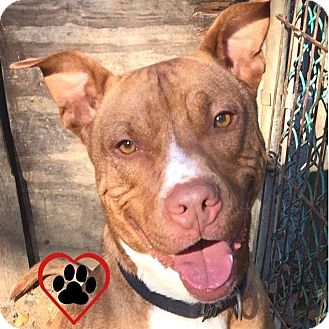 Pit Bull Terrier/Boxer Mix Dog for adoption in Voorhees, New Jersey - Chance