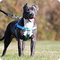 American Pit Bull Terrier/American Staffordshire Terrier Mix Dog for adoption in Shrewsbury, New Jersey - Gumball
