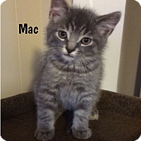 Adopt A Pet :: Mac - Super Cuddley! - Huntsville, ON