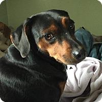 Adopt A Pet :: Moe - Rexford, NY