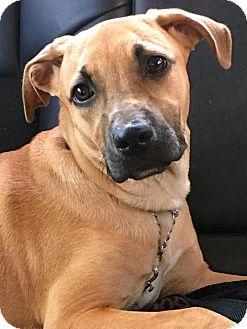 Black Mouth Cur Mix Dog for adoption in Sarasota, Florida - Paris
