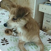 Pomeranian Mix Dog for adoption in Surprise, Arizona - Princess
