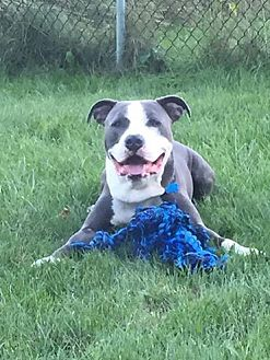 American Staffordshire Terrier Mix Dog for adoption in Bronx, New York - Valor