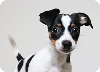 Chihuahua/Rat Terrier Mix Puppy for adoption in Edina, Minnesota - Lyon D161796: PENDING ADOPTION