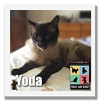Siamese Cat for adoption in Palm Desert, California - Yoda