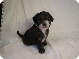 Terrier (Unknown Type, Small) Mix Puppy for adoption in Gig Harbor, Washington - Panda