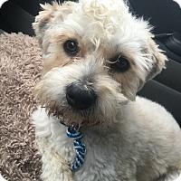 Adopt A Pet :: Vinny - Bristol, CT