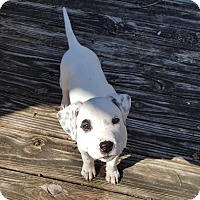 Adopt A Pet :: Bugsy - Tallahassee, FL