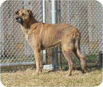 German Shepherd Dog/Labrador Retriever Mix Dog for adoption in Graceville, Florida - Hera I