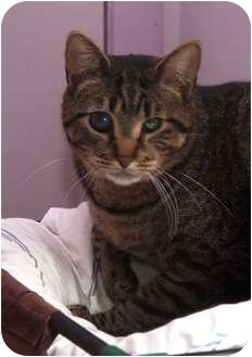 Domestic Shorthair Cat for adoption in Ocean City, New Jersey - Tigger