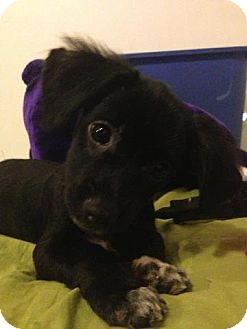 Terrier (Unknown Type, Small)/Shih Tzu Mix Puppy for adoption in Madison, New Jersey - Sarek