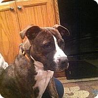 Adopt A Pet :: Bonnie - Medford, NJ