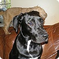 Adopt A Pet :: Maya - Apex, NC