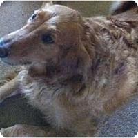 Adopt A Pet :: Brock - Denver, CO