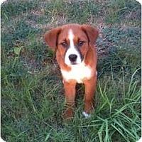 Adopt A Pet :: Bridgett - Arlington, TX