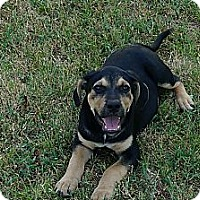 Adopt A Pet :: Beaudy - Conway, AR