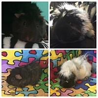 Adopt A Pet :: Susu - Fullerton, CA