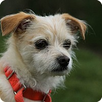 Adopt A Pet :: Billy - Mission Viejo, CA