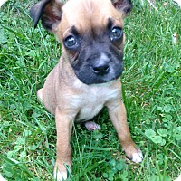 Adopt A Pet :: Louie - Morgantown, WV