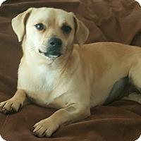 Adopt A Pet :: Butterscotch - Gainesville, FL