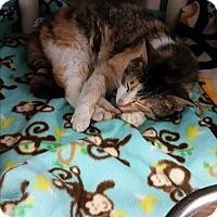 Adopt A Pet :: Calli - Chippewa Falls, WI