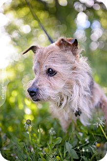 Yorkie, Yorkshire Terrier Mix Dog for adoption in Toronto, Ontario - Archie 3363