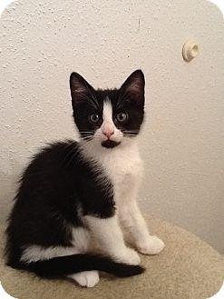 Domestic Mediumhair Kitten for adoption in Houston, Texas - Hank