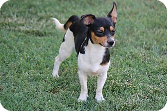 Corgi/Chihuahua Mix Puppy for adoption in Greenville, South Carolina - Monte