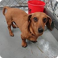 Dachshund Mix Dog for adoption in Aurora, Illinois - Abbott